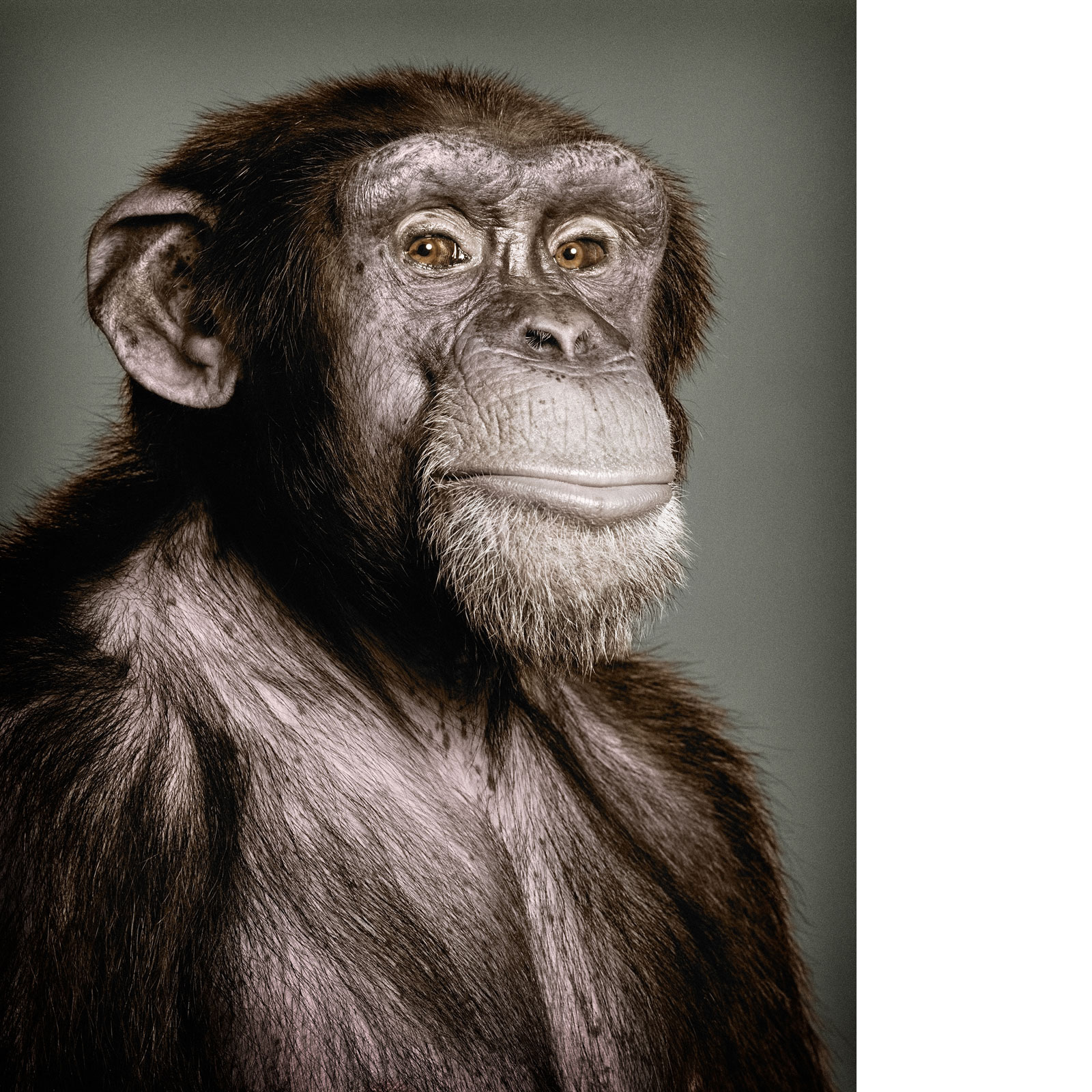 Glen Wexler | Chimp